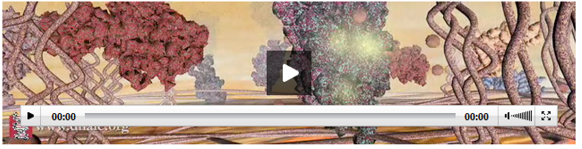 Video from Cold Spring Harbor Laboratory that describes how Growth Factors Signal Stem Cells
